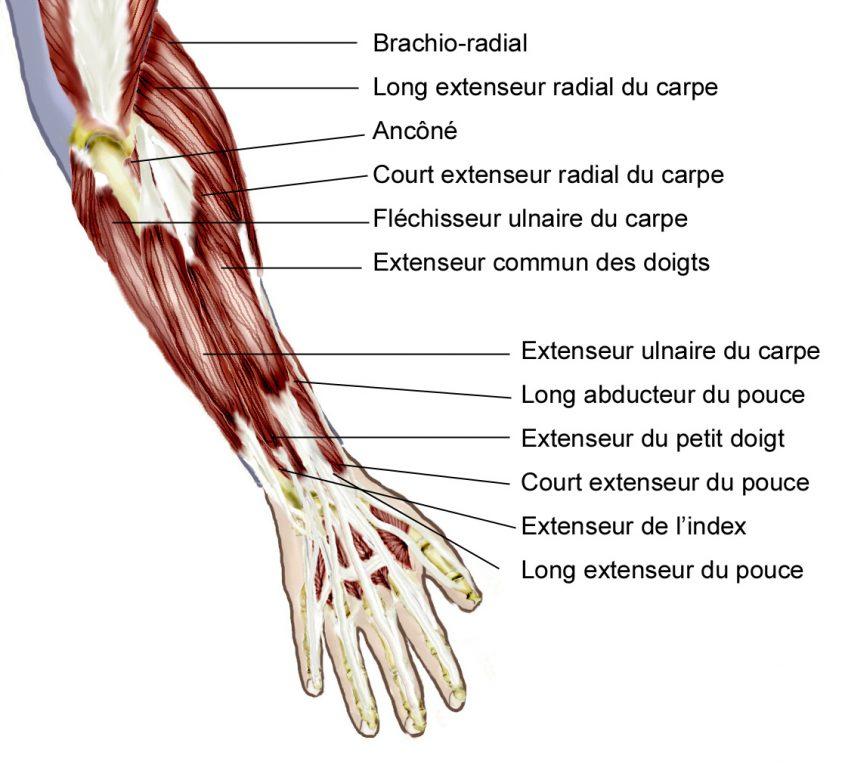 Muscles avant bras